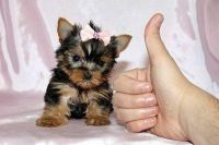 Graceful Yorkie Puppies Available Now