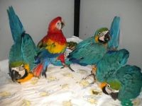 Dcaxsz Blue and Gold Macaw