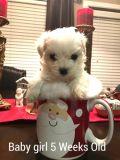 Maltese PUPPY FOR SALE ADN-56223 - Maltese Female Puppy for Sale