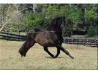 Versatile Rare Baroque Black Andalusian PRE Stallion