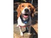 Adopt Taco-Eligible for Critter Credit a Beagle
