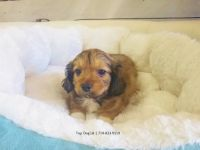 Unknown-Maltipoo Mix PUPPY FOR SALE ADN-51922 - Maltipoo Male Almond