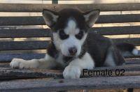 Angelic Male & Female Siberian Husky Puppies