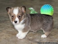 HGVCGHF Pembroke Welsh Corgi Puppies