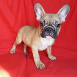 French Bulldog PUPPY FOR SALE ADN-54543 - FrenchieZ PuP