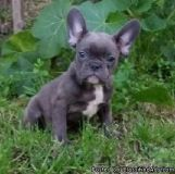 khgkjftj nice French bulldog puppies ready for a lovely home