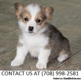 Buoyant M/F Pembroke welsh corgi Pups Available For Sale