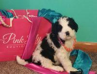 Saint Berdoodle PUPPY FOR SALE ADN-63625 - Saint Berdoodle Puppies For Sale