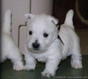 aegsrhde West Highland Terrier puppies for sale