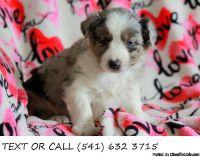 Unbeatable!&^%Australian Shepherd Puppies Available