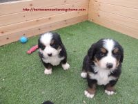 Beautiful Bernese mountiandog Puppies Ready to go