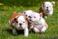 Cute English Bulldog Puppies for Re