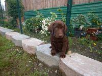 AKC PURE CHOCOLATE LABRADOR RETRIEVER Puppies