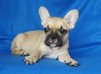 French Bulldog PUPPY FOR SALE ADN-56787 - FrenchieZ PuP