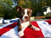 Boston terrier puppys