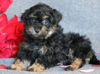 Lhasa-Poo PUPPY FOR SALE ADN-64380 - Lhasapoo Puppy for Sale