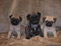 Powerful Pug puppies for sale