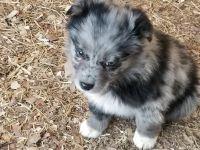 Australian Shepherd PUPPY FOR SALE ADN-62478 - Australian Shepard Puppies