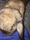 Mini Holland Lop Rabbit + Starter Kit ($50)