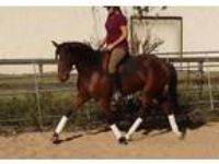 Andalusian Cross Breathtaking Mover Sporthorse Prospect in Texas