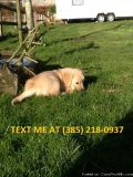Fjkhj Golden retriever puppies for sale