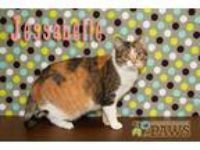 Adopt Jessabelle a Orange or Red (Mostly) Domestic Shorthair / Mixed (short