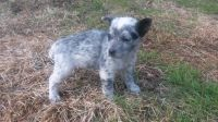 Puppy to a good home (West Monroe, LA)