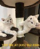 praiseworthy%100 M/F Scottish fold Kittens Available