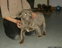 mbdtserf Cane Corso Puppies Ready for sale