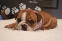 English Bulldog PUPPY FOR SALE ADN-63159 - AvailaBULL  Standard English Bulldog