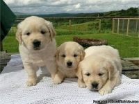 KLEE3 M/F GOLDEN RETRIEVER PUPPIES Available