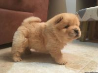 Tunner Beautiful Chow Chow Puppies Available