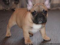 OIJHJGV French Bulldog Puppies