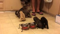 Rehoming our pug Puppies now-(203) 648-4071