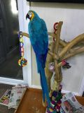 Hand Reared Tame 13 Months Old Blue And Gold Maca