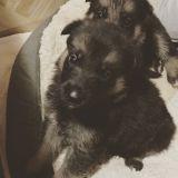 German Shepherd Dog PUPPY FOR SALE ADN-52274 - AKC GERMAN SHEPHERD DOG