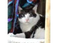 Adopt Buzz a White Domestic Shorthair / Domestic Shorthair / Mixed cat in