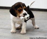 Eastpointe SJUG #! Beagle Puppies