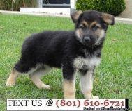 Respectful German Shepherd Puppies Available