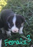 Cowboy Corgi PUPPY FOR SALE ADN-52782 - Cowboy Corgi Borgi
