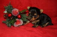 Yorkshire Terrier PUPPY FOR SALE ADN-52670 - Yorkie Puppies