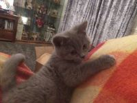 Very Cute Boy/Girl British Shorthair Kitten Looking For Special Home