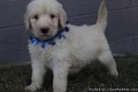 CHGDTJTY GOLDENDOODLE PUPPIES AVAILABLE FOR SALE Text: (4O4) 692 XX 3714