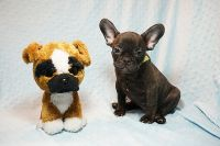 AKC French Bulldog Puppies Available For Christmas!