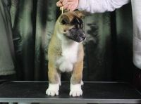 Best Ever Male & Female Akita Puppies