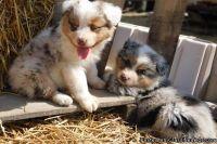 Eastpointe WPLJ #! Australian Shepherd Puppies