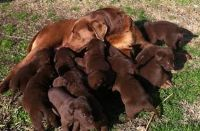 LAB PUPPIES GOING FAST  (Carthage)