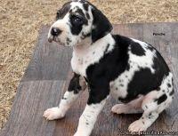 Healthy Cute M/F Great Dane Puppies