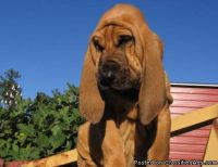 Bloodhound Puppies for sale both male and female