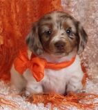 """Outstanding AKC Registered Miniature Dachshund Boy"""